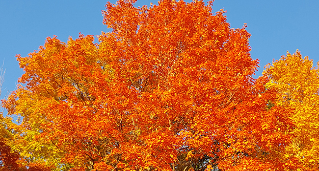 Heritage Tree autumn fall
